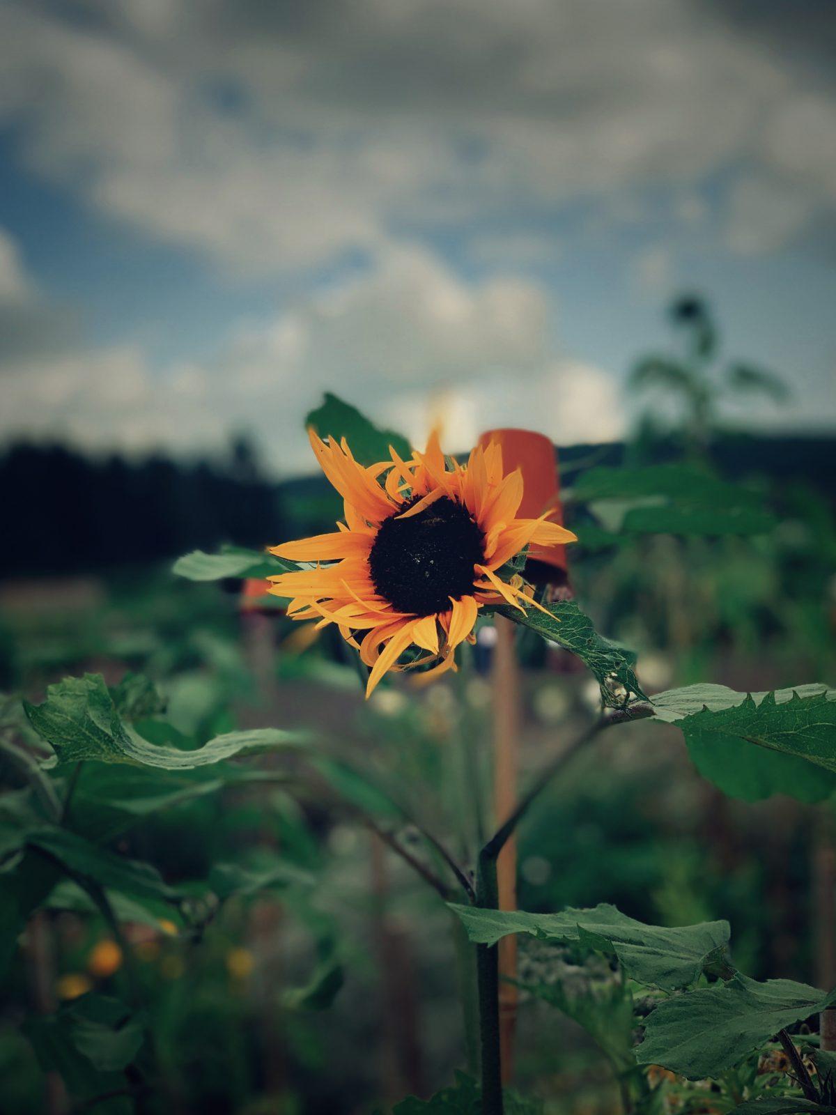 Gordon Castle flower